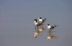 Drei wenig-mit Haube Seeschwalben (Sterna bengalensis) Lizenzfreies Stockfoto