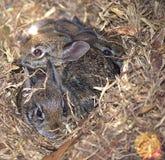 Drei wilde Baby-Kaninchen, die mitarbeiten, um sicher zu bleiben lizenzfreie stockbilder