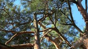 Drei wilde Eichhörnchen, die im Frühjahr Spiel auf Kiefer verbinden stock footage