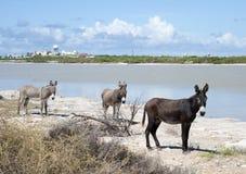 Drei wilde Esel Lizenzfreies Stockbild