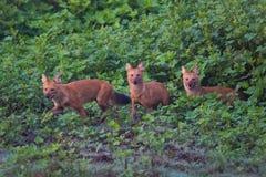 Drei wilde Hunde Lizenzfreie Stockfotos