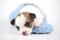 Drei Wochen alter Chihuahuawelpe in der blauen Hefterzufuhr Lizenzfreie Stockfotografie