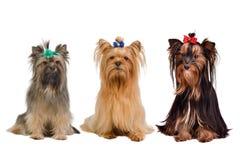 Drei Yorkshire-Terrierhunde lizenzfreie stockbilder