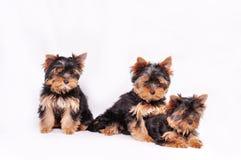 Drei Yorkshire Terrierwelpe Stockfotografie