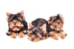 Drei Yorkshire Terrierwelpe Stockfoto