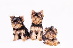 Drei Yorkshire Terrierwelpe Lizenzfreies Stockfoto