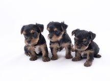 Drei Yorkshire-Terrierwelpen Stockbilder
