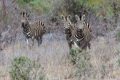Drei Zebra ` s, das auf den Gebieten grazzing ist Lizenzfreies Stockbild