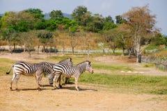 Drei Zebras Lizenzfreie Stockbilder