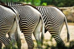 Drei Zebras halfs im Zoo, der nahe einander grasing ist stockbild