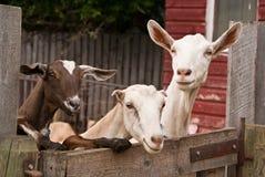 Drei Ziegen, die über einem Zaun schauen Stockfotografie