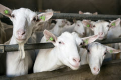 Drei Ziegen haften ihre Köpfe durch Stangen des Stalles Stockfotos