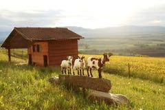 Drei Ziegen, kleiner Bauernhof in den Schweizer Alpen Stockbilder