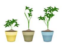 Drei Zierpflanzen in den keramischen Blumen-Töpfen Lizenzfreies Stockbild