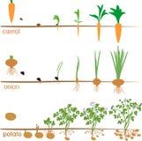 Drei Zyklen Wachstum von landwirtschaftlichen Anlagen lizenzfreie abbildung
