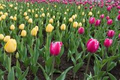 Dreieckiger Flecken von gelben Tulpen unter Rosa eine Lizenzfreie Stockfotos
