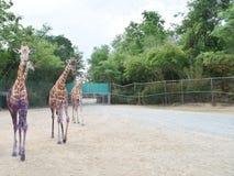 Dreifache Giraffe Stockbilder