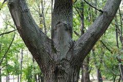 Dreifache Stämme des Baums im Park stockbilder