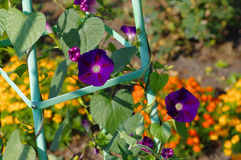 Dreifarbige Blume des Ipomoea im Garten Lizenzfreie Stockbilder
