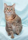 Dreifarbige gestreifte Katze mit den grünen Augen, die oben sitzen und schauen Stockbild
