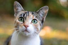 Dreifarbige Katze in der Liebe, mit gro?en Augen stockfoto
