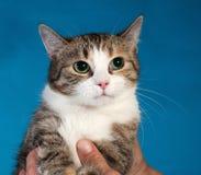 Dreifarbige Katze, die auf seinen Händen auf Blau sitzt Stockfotos