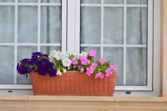 Dreifarbige Petunien vor dem Fenster Lizenzfreie Stockfotografie