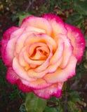 Dreifarbige Rose Stockbilder
