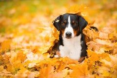 Dreifarbiger Appenzeller-Gebirgshund, der auf Ahornblättern liegt Stockfotografie