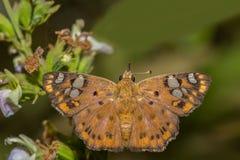 Dreifarbiger gescheckter flacher Schmetterling mit seinen Flügeln öffnen sich, Lizenzfreie Stockfotos