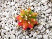 Dreifarbiger Gymno-Kaktus Stockfotografie