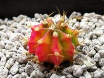 Dreifarbiger Gymno-Kaktus stockbild