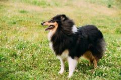 Dreifarbiger rauer Collie, schottischer Collie, langhaarige Collie Lassie lizenzfreie stockfotografie