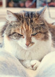 Dreifarbiger Schlaf der Katze Stockbild