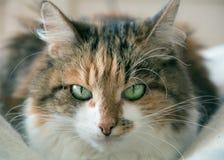 Dreifarbiger Schlaf der Katze Lizenzfreie Stockbilder