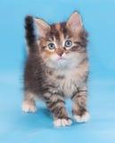 Dreifarbiges flaumiges Kätzchen ist ungläubiges Schauen Lizenzfreie Stockfotografie