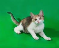 Dreifarbiges Kätzchen, das auf Grün liegt Lizenzfreie Stockbilder