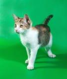 Dreifarbiges Kätzchen, das auf Grün steht Lizenzfreies Stockbild