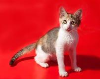 Dreifarbiges Kätzchen, das auf Rot steht Stockbilder