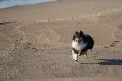 Dreifarbiges Sheltie, das auf dem Strand läuft Lizenzfreies Stockfoto