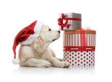 Dreimonatiger Welpe des goldenen Apportierhunds in einem Rot Stockfoto