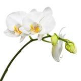Dreitägige alte weiße Orchidee lokalisiert auf weißem Hintergrund Lizenzfreies Stockfoto