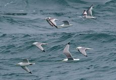 Dreizehenmöweseemöwen, die in eine Menge über dem Meer fliegen Stockbild