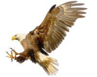 Drenaje de la mano del ataque de aterrizaje del águila calva y color de la pintura en el fondo blanco Foto de archivo libre de regalías