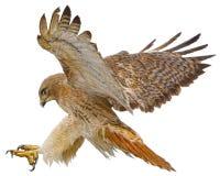 Drenaje rojo del ataque de aterrizaje del halcón de la cola en el vector blanco Fotos de archivo