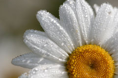 Drenched Daisy. Shallow DOF Close-up of a single Daisy drenched in morning dew Stock Images