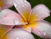 Drenched Plumeria stock image