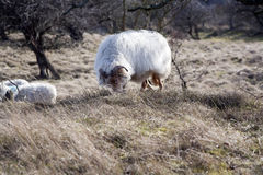 Drenthe heath sheep Royalty Free Stock Photography