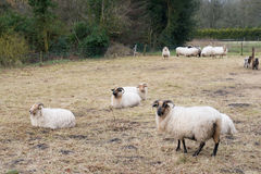 Drenthe Heath sheep Stock Photography