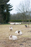 Drenthe Heath sheep Stock Photo